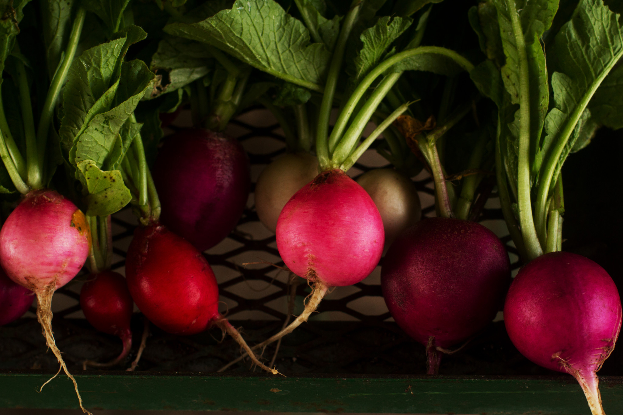 Fresh beets at farm in morning light